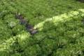 Les Jardins De La Cabane, laitues