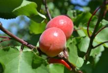 Fraîcheur des Cabanes, abricot