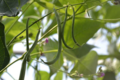 Fraîcheur des Cabanes, haricots verts