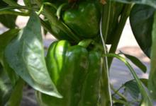 Fraîcheur des Cabanes, poivron vert
