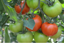 Fraîcheur des Cabanes, tomate ronde
