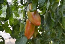 Fraîcheur des Cabanes, tomate andine cornue