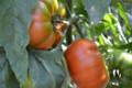 Fraîcheur des Cabanes, tomate fleurette