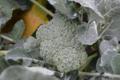 Fraîcheur des Cabanes, brocoli