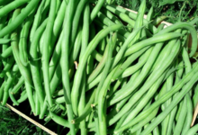 Les clapiers du Razès, haricots verts