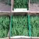 La Clède, haricots verts