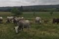 Élevage de La Coste, vaches et taureaux pure race Gascon.