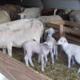Jimmy Felon, viande d'agneau
