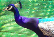 Elevage D'inos. Paon bleu