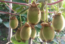 Kiwi de Sumène