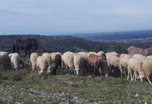 L'agneau des garrigues
