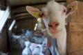 Les chèvres de La Tapie