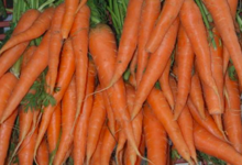 Le pig vert. carottes