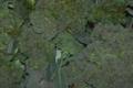 Le pig vert. brocolis