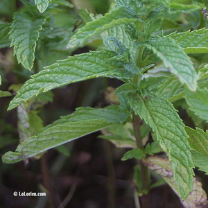 Menthe chinoise Feuille