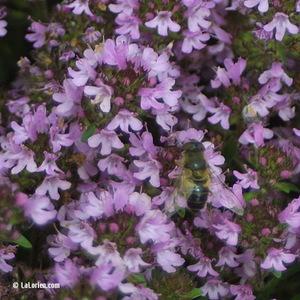 Thym serpolet Fleur