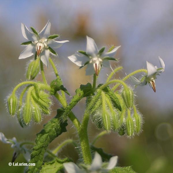 BOURRACHE à fleurs blanches - Les Plantes de La Lorien Les ...