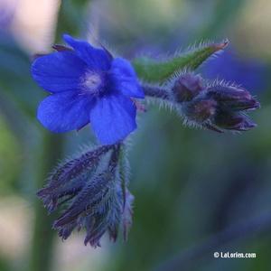 Buglosse officinale Fleur