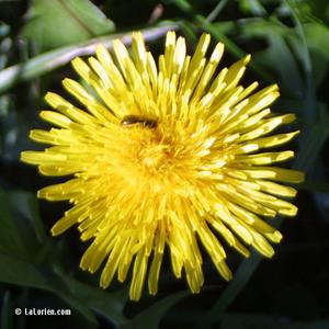 Pissenlit Inflorescence