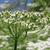 Cumin-inflorescence