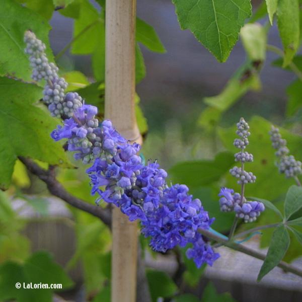GATTILIER - Les Plantes de La Lorien Les Plantes de La Lorien