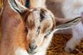 Chèvrerie de Bliquetuit