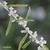 Verveine-d-argentine-fleur