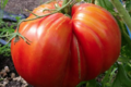 La Ferme d'Alzetta. tomate coeur de boeuf