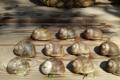 Lumaca Elevage d'Escargots Corse
