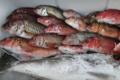 Pêche locale, battellu Francine. Rougets
