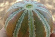 La Ferme de Queccialba. Melon kajari
