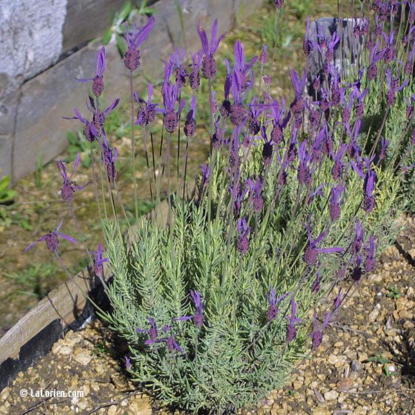 Lavande Papillon Les Plantes De La Lorien Les Plantes De