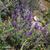 Lavande-papillon
