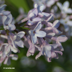 Lilas Fleur