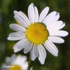 Marguerite grande Inflorescence