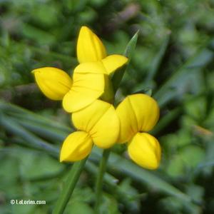 Lotier corniculé Inflorescence