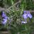Romarin-rampant-inflorescence