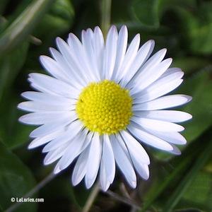 Paquerette Fleur