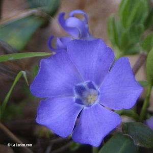 Pervenche Fleur