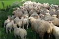 Ferme de Pierrelaye. agneau
