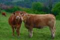 La ferme de Blandine. Vache