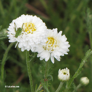 Camomille romaine ligulosum Inflorescence