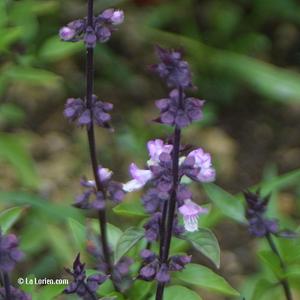 Basilic thaï Inflorescence