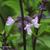 Basilic-thai-fleur