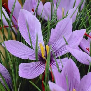 Safran Fleur