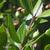 Myrte-fruit