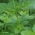 Melisse-citronnelle-tige