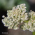 Rhubarbe-fleur
