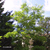 Robinier-faux-acacia