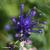 Muscari-a-toupet-fleur